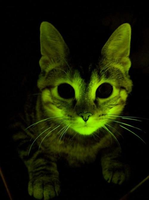 Foto retirada do site do Gato Radioativo. Ao que tudo indica ele também vai ser bioluminescente.